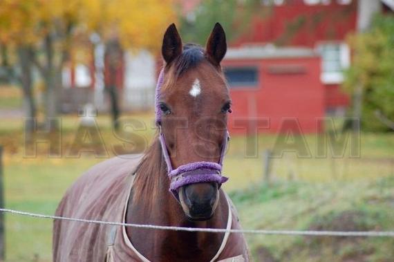 Häststam - Fancy Remington